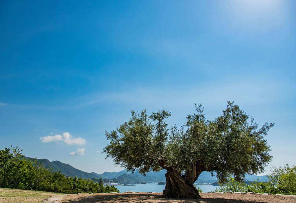 オリーヴ大樹