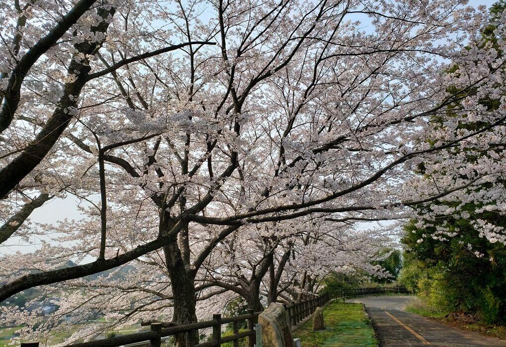 馬越峠の桜並木