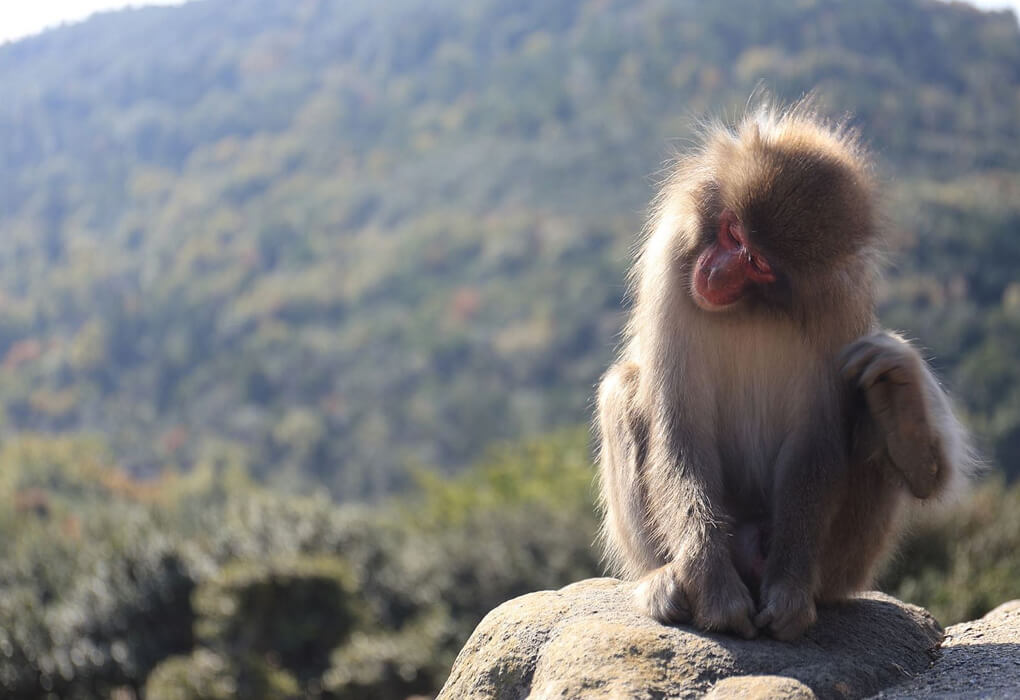 銚子渓の猿